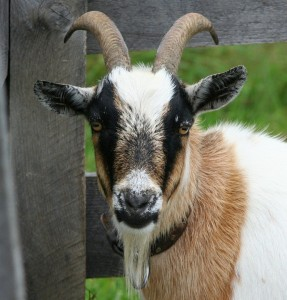 goat-58893_960_720